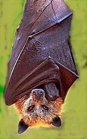 Golden Eared Fruit Bat