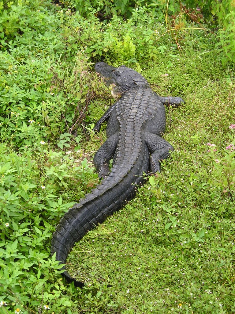 american alligator The american alligator (alligator mississippiensis) ranges throughout the southeastern united states, and alligators within everglades national park exist at the.