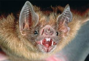 Vampire bat!!!!!!!!!!